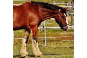Dealing with Equine Inflammation: Bute or Banamine?