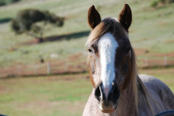 Using sucralfate as an ulcer preventative for horses