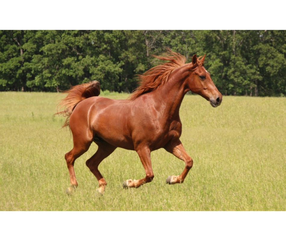 Fact! Performance Horses are suseptible to Stomach Ulcers